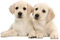 Yellow Labrador Retriever puppies, 8 weeks old, lying with heads up