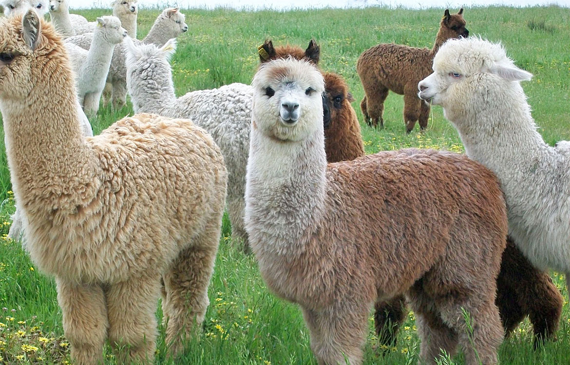 Alpaca industry recognizes RFID microchips