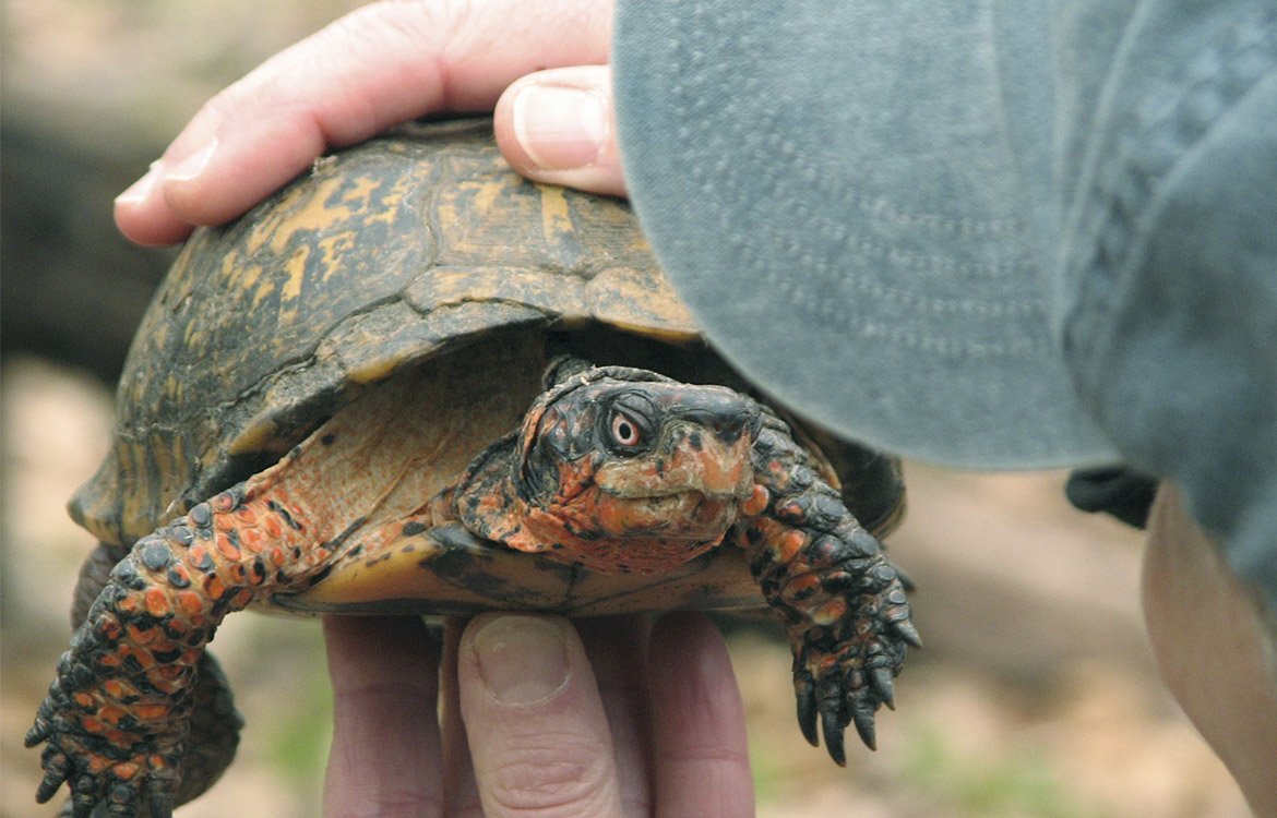 Box turtle life tracking with microchips