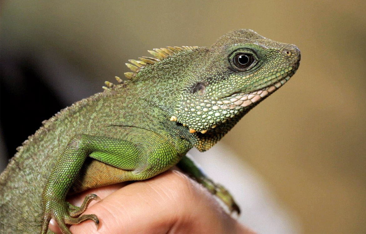 Mini microchips for reptiles